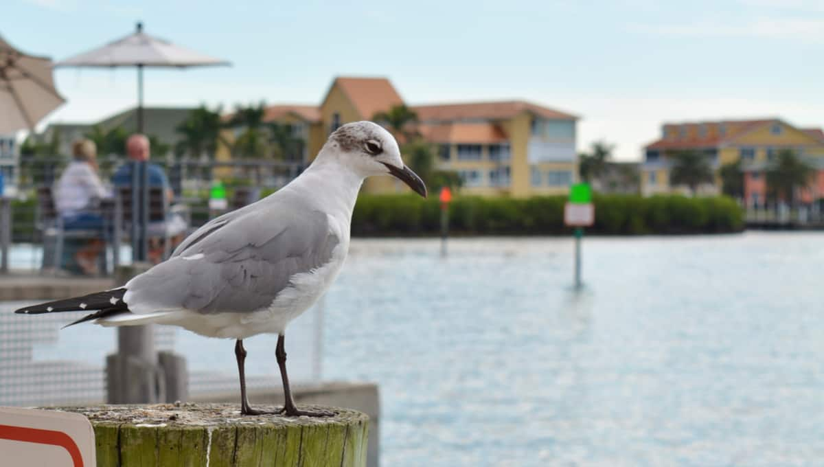 Seagull_in_port_Charlotte_Harbor_terrenosnaflorida-com_shutterstock_1011177265_1200x680