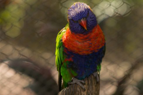 lorikeet_bird_in_Busch_Gardens_theme_park_safari_in_Tampa_Florida_terrenosnaflorida-com_shutterstock_599062481_1200x680